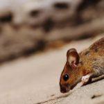 Chuột và động vật gặm nhấm